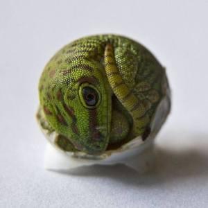 Phelsuma grandis hatchling